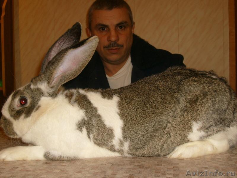 Продаются кролики породы великан