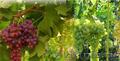 Продажа черенков и саженцев винограда