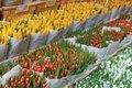 Тюльпаны оптом на 8 МАРТА